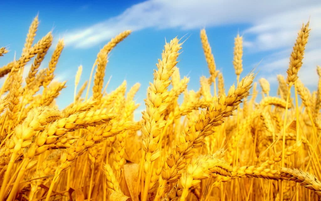 Wheat_Fields_Wallpapers_laba.ws